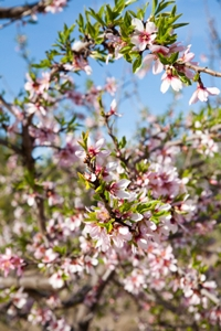 Almond                              tree with flowers on Murcia